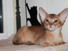 Увидеть foto  Абиссинские котята,американские линии 34760094 в Москве