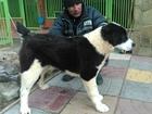 Фотография в   Среднеазиатской овчарки щенков, девочки, в Москве 10000