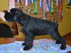 Фотография в Собаки и щенки Продажа собак, щенков Предлагаем щенков цвергшнауцера чёрного окраса в Кургане 20000