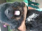 Фото в   Предлагаем на продажу щенков тибетского мастифа в Москве 20000