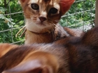 Скачать изображение  Абиссинские котята, Кошки, 36746866 в Москве