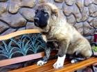 Изображение в   Предлагаем на продажу щенков кавказской овчарки в Москве 15000