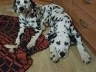 Фото в Собаки и щенки Продажа собак, щенков продам щенка далматина 4 месяца девочка на в Кургане 2500