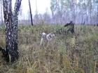 Увидеть фотографию Вязка собак Красавец Кобель западно-сибирская лайка 7,5 лет, 37728548 в Кургане