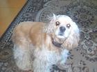 Foto в Собаки и щенки Вязка собак ищу кобеля американского кокер спаниеля в Кургане 0