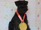 Фото в Собаки и щенки Продажа собак, щенков Предлагаем щенков цвергшнауцера чёрного окраса в Кургане 18000
