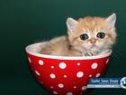 Уникальное фото  SSD - Питомник кошек в москве - продажа котят , 38772810 в Москве