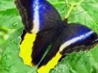 Изображение в   Caligo Memnon – Калиго Мемнон. Ареал обитания: в Краснодаре 1500