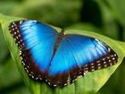 Просмотреть фотографию  Живые тропические бабочки Morpho Peleides -Лучшие подарки на любой праздник 38988557 в Краснодаре