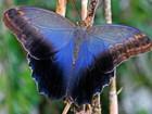 Увидеть фотографию  Живые тропические бабочки Caligo Memnom Бабочки Лучший подарок! 40074258 в Сочи