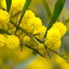 Мимоза оптом, Тюльпан, Нарцисс, Цветы