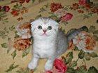 Изображение в Кошки и котята Продажа кошек и котят Продаются три котенка! Шотландские вислоухие, в Курске 4000