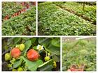 Изображение в Домашние животные Растения Предлагаем Вам широкий ассортимент клубники в Белгороде 40