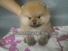 Изображение в Собаки и щенки Продажа собак, щенков Предлагается на продажу великолепный миниатюрный в Курске 0