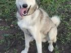 Фотография в Собаки и щенки Вязка собак Кабель западно-сибирской лайки ищет невесту в Курске 0