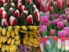 Скачать фотографию  Тюльпаны в розницу 38227956 в Курске
