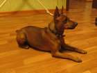 Скачать фото Вязка собак Цвергпинчер (мини доберман) вязка 38237386 в Курске
