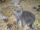 Фото в Кошки и котята Продажа кошек и котят продам 1, 5 мес. котиков голубой и бежевый в Лабинске 1000