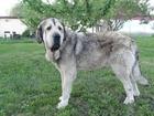 Скачать бесплатно foto Вязка собак Шикарный высококровный Испанский мастиф с родословной на вязку 39283013 в Липецке