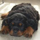 Куплю щенка ротвейлера не дорого до 5000 рублей