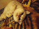 Фото в Кошки и котята Вязка Предлагаем для вязки британского котика. в Люберцы 0
