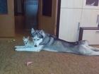 Уникальное фото  кобель сибирского хаски ищет суку для вязки 37728655 в Люберцы