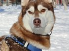 Фотография в Собаки и щенки Вязка собак Парень с хорошей родословной и прекрасными в Магнитогорске 1