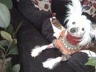Фото в Собаки и щенки Вязка собак китайская хохлатая голая девочка ждет мальчика в Магнитогорске 0