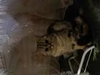 Фото в   Шотландская прямоухая молодая кошечка ищет в Магнитогорске 0