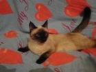 Фото в Кошки и котята Вязка ищем котика для вязки в Магнитогорске 0