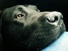 Фотография в Собаки и щенки Вязка собак Ищем сучку для лабрадора   Собаке 3 года, в Магнитогорске 0