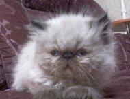 персидские котята персидские котята. помёт 19. 02. 15. девочки. едят всё. к лотк