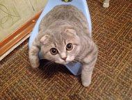 Продам кошку Продам в добрые руки вислоухую кошку Скотиш-фолд. Добрая, умная, хо