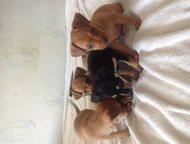 Продам щенков той терьера Продам щенков той терьера, мальчики родились 8 мая, ок