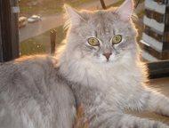 Приму в дар котенка сибирской породы Приму в дар котенка сибирской породы. Желат