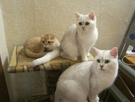 Магнитогорск: Кот вязка Британский кот окраса серебристая шиншилла ns 11 приглашает кошечек на вязку , кот с отличными породными данными , все прививки по возрасту
