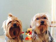 Продам щенков йоркширского терьера Продаются щенки 13. 09. 2015 года рождения, м