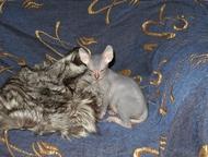 Куплю котенка Донского сфинкса-только без волос и усов Куплю котенка Донского сф