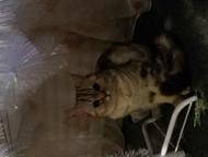 Кошечка молодая Шотландская прямоухая молодая кошечка ищет котика на вязку