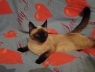 сиамская кошка ищем котика для вязки