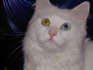 Девочка Турецкий ван Ищем котика . Нам 1г 6 мес.