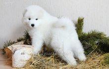 Белые мишки - щенки самоеда