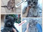 Фото в   Полупородистые котята, возраст 2 месяца, в Махачкале 0
