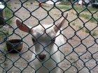 Скачать фото Другие животные Отдам новорожденных козлят 32421953 в Майкопе