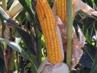 Смотреть фото  Семена кукурузы Краснодарский 291 элита 37851897 в Майкопе