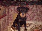 Foto в Собаки и щенки Вязка собак ягдтерьер мальчик 4 года, родословная, дипломы в Калуге 0