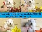 Фотография в Собаки и щенки Продажа собак, щенков Продам восхитительных щенят СаМоЕдСкОй ЛаЙкИ! в Медвежьегорске 0