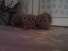 Фото в Кошки и котята Продажа кошек и котят предлагаю отличных шотландских котят есть в Минске 0