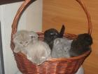 Фотография в Кошки и котята Продажа кошек и котят красивые шотландские котята фолд и страйт в Минске 0