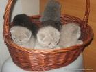Фото в Кошки и котята Продажа кошек и котят плюшевые котята шотландской породы есть страйт в Минске 0